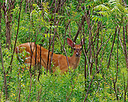 A young buck comes over the mountain eating the plush Spring vegetation, East Dorset, VT
