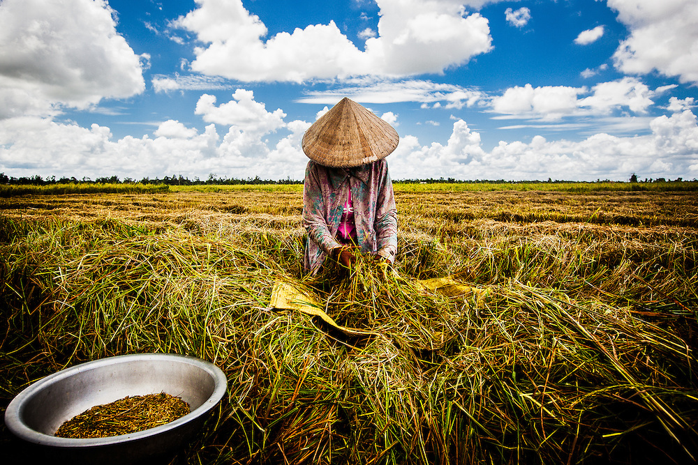 A young girl works the rice harvest in Can Tho, Vietnam, the largest city in the Mekong Delta region of the country.