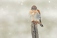 An American kestrel perches on an old snag during a spring snowstorm.