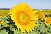 Flowering sunflower in field in morning sun near Ryeford, Queensland, Australia