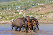 Wild mustangs in waterhole in Montana