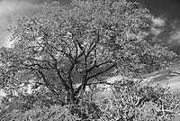 Almácigo (turpentine) tree