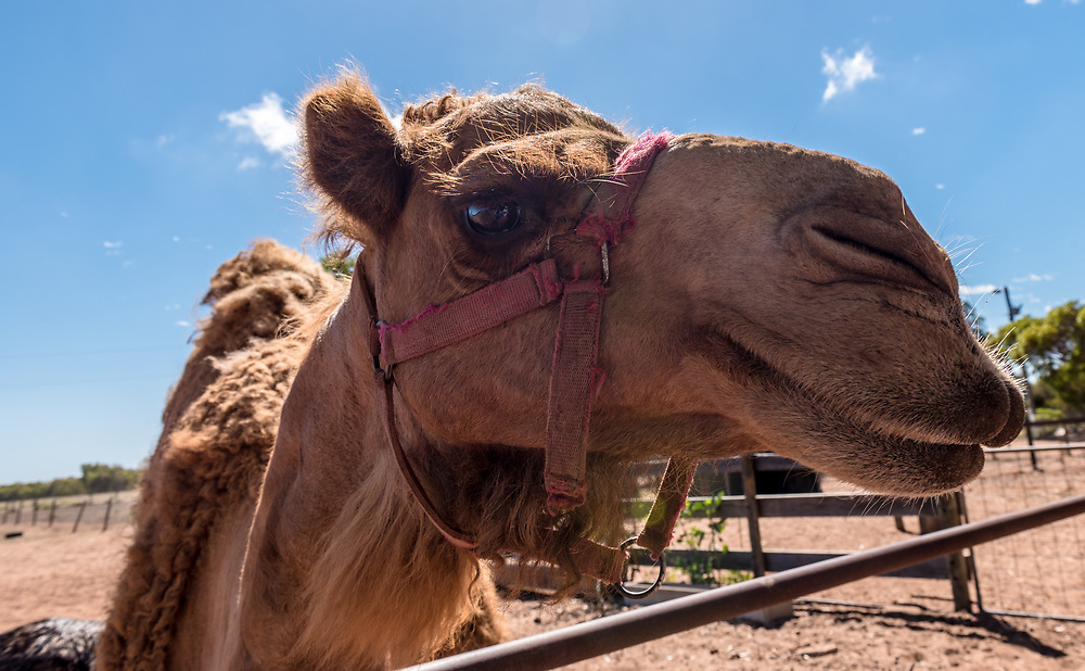 A camel looks out over a fence in Geraldton, Australia.