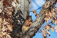 Fox squirrel in habitat