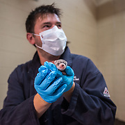 FRONT ROYAL, VA - JUL24: Paul Marinari, the senior curator of animal operations at the Smithsonian Conservation Biology Institute in Front Royal, Virginia, holds new born black-footed ferrets, July 24, 2014. The black-footed ferret is one of the most endangered animals in the world. Once inhabiting the grasslands of the western Great Plains, the black-footed ferret declined with the loss of the North American prairie ecosystem. <br /> The black-footed ferret breeding program depends on computerized matchmaking, ensuring that the most genetically appropriate individuals are mated together. This genetic management occurs through a Species Survival Plan, a group of zoos and conservation organizations working together to save the species. From those original 18 animals, approximately 250 ferrets reside in breeding facilities and about 800 animals are now in the wild. (Photo by Evelyn Hockstein/For The Washington Post)