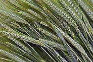 Pattern in harvested wheat, Ljubljana; Slovenia