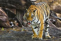 Bengal tiger in the wild (Panthera tigris tigris) displaying aggression and growling, Bandhavgarh,Madhya Pradesh,India
