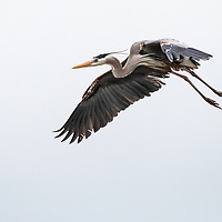 Ardea herodias, Aransas Bay near Rockport, Texas, March 2019