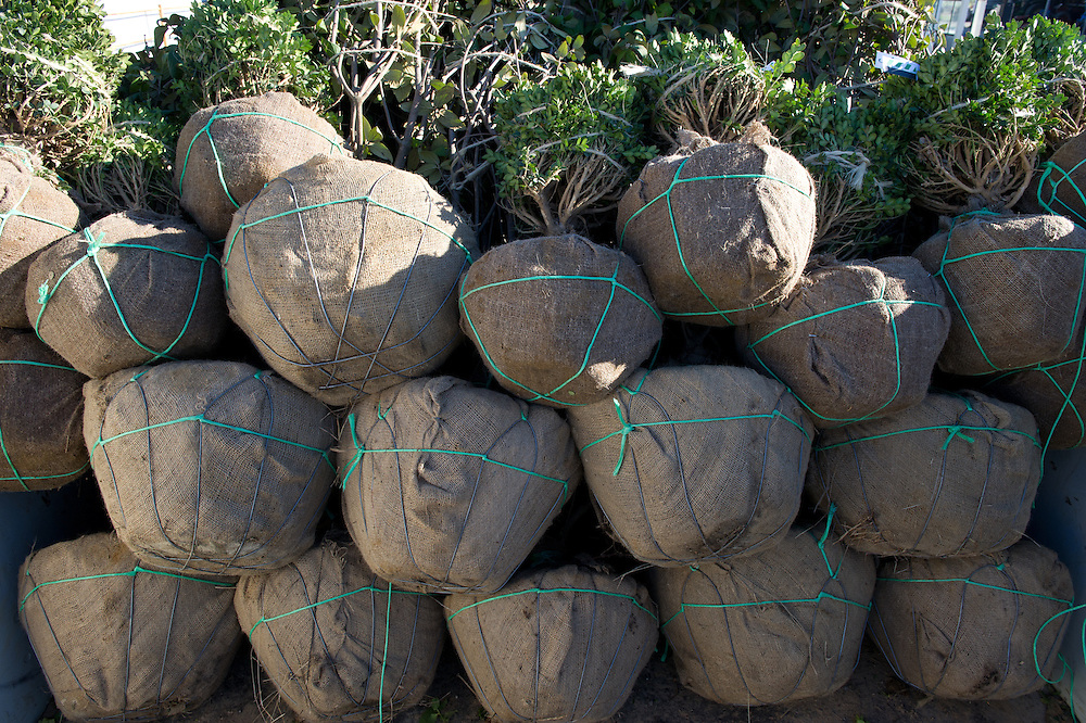 Balls of trees at a tree nursery