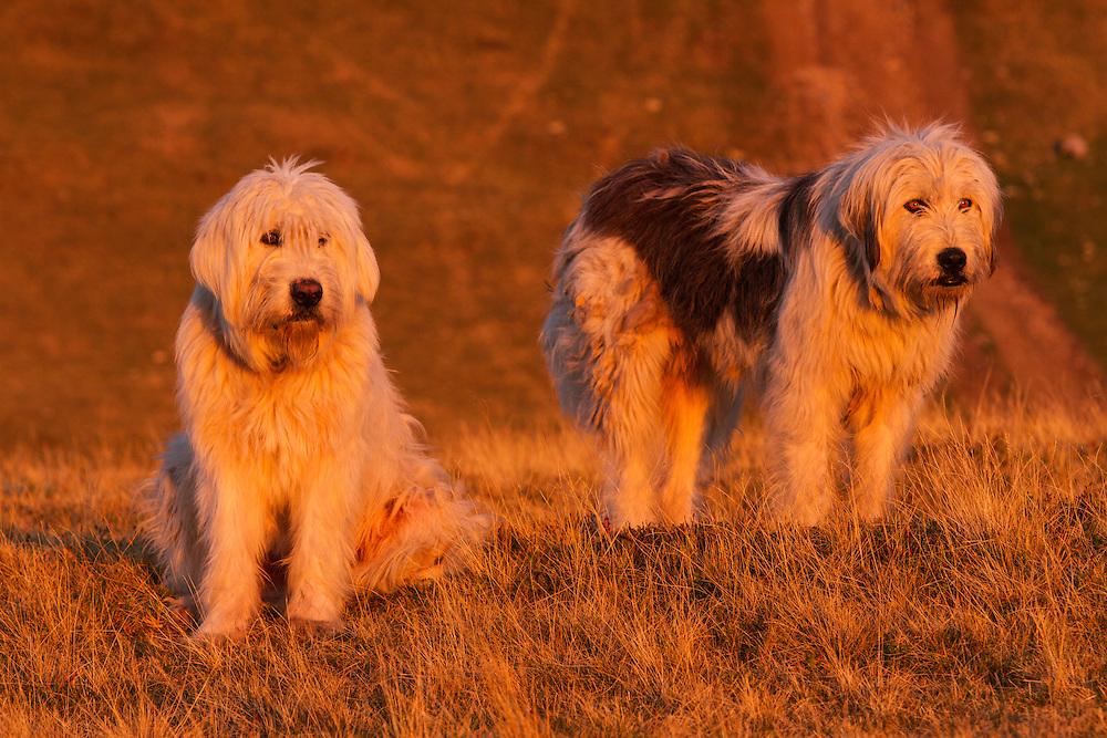 Two Romanian shepherd dog (breed: Mioritic) in the Munti Tarcu Natura 2000 site. Southern Carpathians, Munții Ṭarcu, Caraș-Severin, Romania.