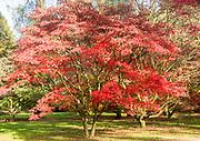 Japanese maple trees in autumn colour, Acer Palmatum, National arboretum, Westonbirt arboretum, Gloucestershire, England, UK
