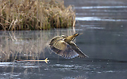 UK, Doncaster - Wednesday, February 11, 2009: A Great Bittern (Botaurus stellaris) flies across a frozen pool at Potteric Carr nature reserve. (Image by Peter Horrell / http://www.peterhorrell.com)