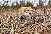Ten-year-old Yellow Lab, Rosie, brings in a Canvasback drake during a hunt.