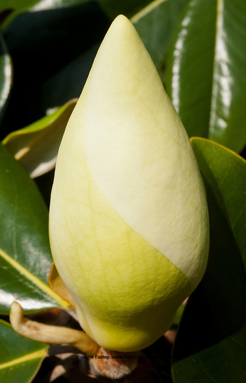 Southern Magnolia flower bud in the spring