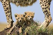Cheetah<br /> Acinonyx jubatus<br /> 8 week old cub(s) resting in the shade cast by their mother's body<br /> Maasai Mara Reserve, Kenya