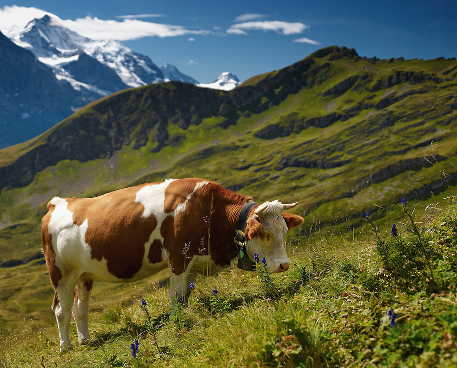 Switzerland - Cow in front of Jungfrau