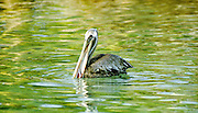 Brown Pelican feeding, Galapagos Islands