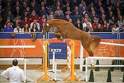 314 - Gin Tonic<br /> KWPN Stallion Selection - 's Hertogenbosch 2014<br /> © Dirk Caremans