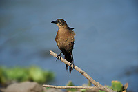 Female  Great-tailed Grackle (Quiscalus mexicanus) along edge of  Lake Chapala, Jocotopec, Jalisco, Mexico