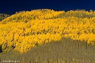 Aspen grove in autumn in the San Juan Mountains of Colorado