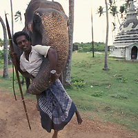 Sri Lanka, Elephant (Elephant maximus) and trainer along western coast road near capital city of Colombo