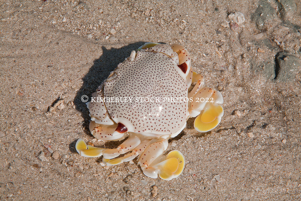 A small crab (Ashtoret lunaris) on a sandbank on Augustus Island.
