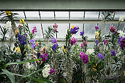 UNITED KINGDOM, London: 4 February 2016. Horticulturists employed by Kew gardens work on the new Orchid Festival which is Brazilian themed this year and held in the Princess of Wales Conservatory.  Pic by Andrew Cowie / Story Picture Agency