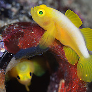Pair of Dinah's gobies (Lubricogobius dinah) with their beer-bottle home, with the fish inside the bottle is turned upside-down. These gobies were at a depth of 30 metres at Observation Point in Milne Bay Province, Papua New Guinea.