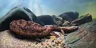 Hellbender Salamander<br />