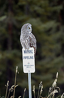 Great Gray Owl (Strix nebuloso),  sitting on fence post   Photo: Peter Llewellyn
