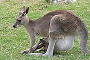 female Eastern Grey Kangaroo Macropus giganteus in a park. An offspring can be seen in the pocket