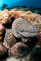 Black Spotted Moray on Reef Wall<br /> <br /> shot in Indonesia