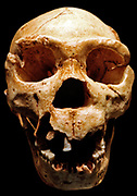 Homo heidelbergensis, Atapuerca 5 skull, about 500,000-400,000 years ago.  Cast of fossil adult skull found at Sima de los Huesos, Sierra de Atapuerca, Spain in 1992-3.  This specimen is one of the most complete pre-modern skulls ever found, and was discovered with remains of at least 28 other individuals.