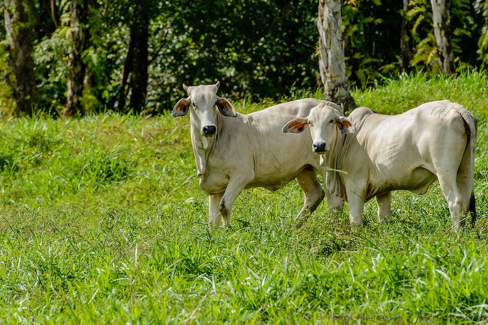 Ceibu Brahman Cattle; near Boquette, Panama