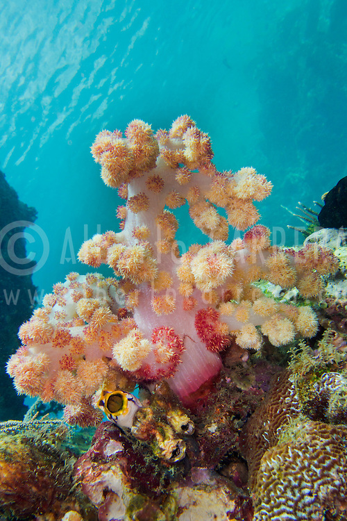 Alberto Carrera, Multi-branched trees, Soft Coral, Lembeh, North Sulawesi, Indonesia, Asia