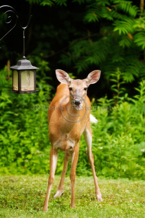 A White-tailed deer emitting a cry in Gatineau, Qc prepares to raid a bird feeder.