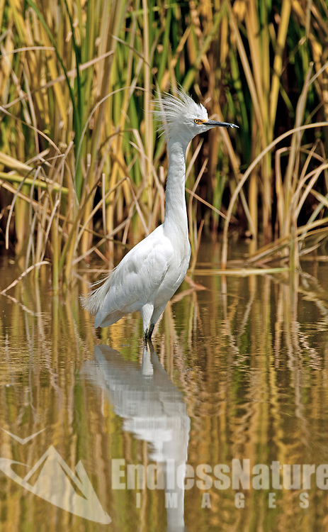 A Snowy Egret stands alert in local wetlands in northern Utah.