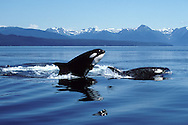 Killer whale; Orca.Orcinus orca.Breaching.Photographed in Icy Strait, Southeast Alaska, USA