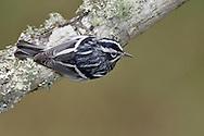 Adult male breeding <br /> Galveston Co., TX <br /> May 2005