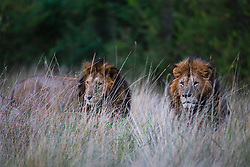 A dominant pair of male lions (Panthera leo), Masai Mara, Kenya