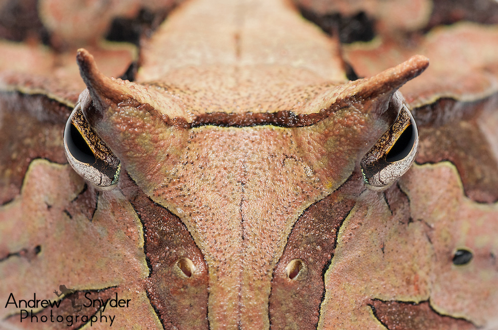 Horned frog (Ceratophrys cornuta) from the Iwokrama rainforest in Guyana.