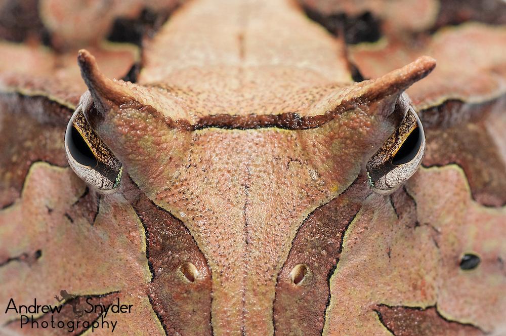 Horned frog (Ceratophrys cornuta) from the Iwokrama rainforest in Guyana.