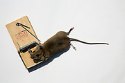 A dead mouse caught in a little nipper domestic snap trap, Folkestone, Kent.  (photo by Andrew Aitchison / In pictures via Getty Images)
