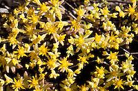 Yellow Stonecrop, Blanco County