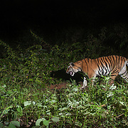 The Indochinese tiger (Panthera tigris corbetti) (เสือโคร่งอินโดจีน in Thailand) is a tiger subspecies dispersed throughout the Indochina region of Southeastern Asia. Less than 200 animals survive in Thailand.