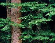 New spring growth adorns the tips of a Western Hemlock's branches, in the coast range of Oregon.
