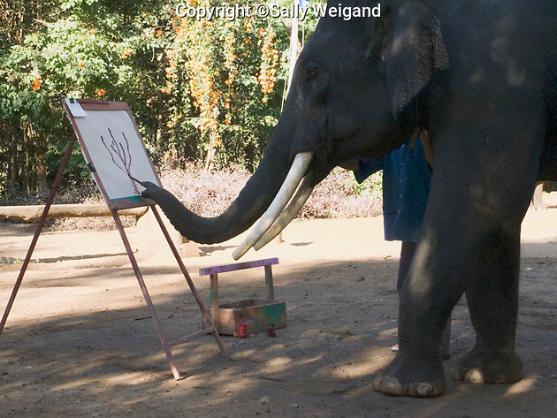 Asian elephant painting picture; holding brush in trunk; mahout (trainer) standing beside; Maetang Elephant Camp; Ching Mai; Thaiiland