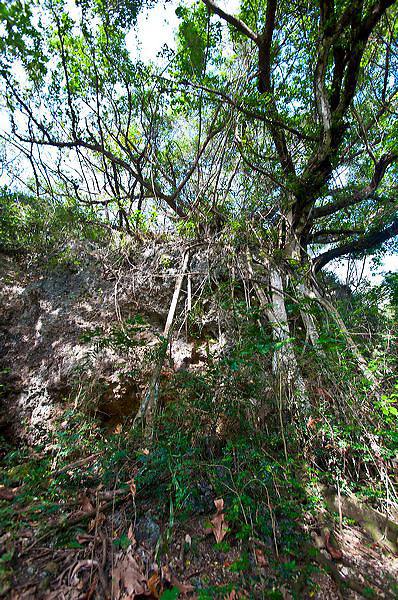 The limestone forest at the Guam National Historical Park unit in Asan Village has beautiful breadfruit and other jungle trees.