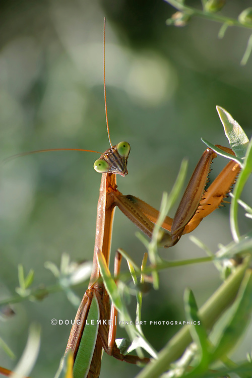 Chinese Mantis, Tenodera aridifolia sinensis, Checking Me Out