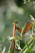 Chinese Mantis, Tenodera aridifolia sinensis, Checking Me Out